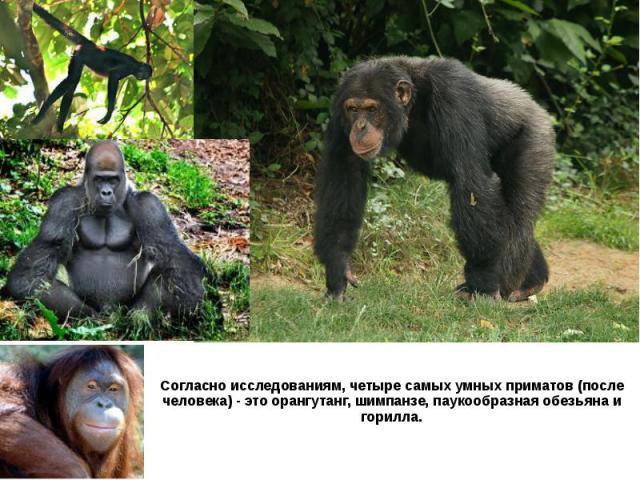 Согласно исследованиям, четыре самых умных приматов (после человека) - это орангутанг, шимпанзе, паукообразная обезьяна и горилла.