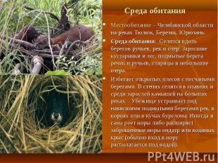 Местообитание – Челябинской области на реках Тюлюк, Березяк, Юрюзань. Местообита