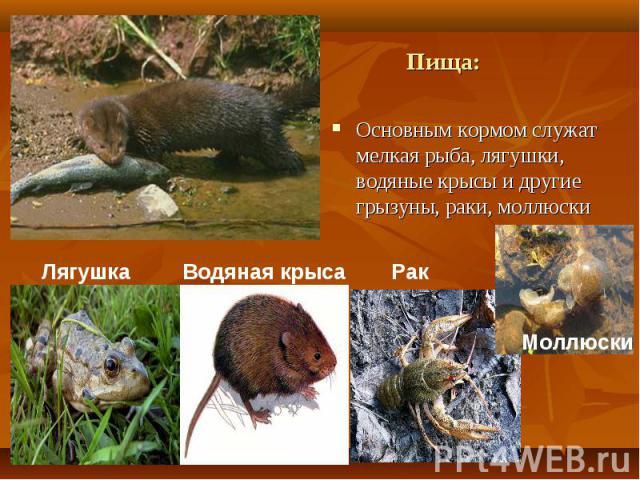 Основным кормом служат мелкая рыба, лягушки, водяные крысы и другие грызуны, раки, моллюски Основным кормом служат мелкая рыба, лягушки, водяные крысы и другие грызуны, раки, моллюски