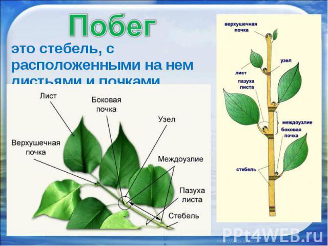 это стебель, с расположенными на нем листьями и почками.это стебель, с расположенными на нем листьями и почками.