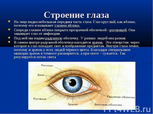 На лице видна небольшая передняя часть глаза. Глаз круглый, как яблоко, поэтому его и называют глазное яблоко. Спереди глазное яблоко покрыто прозрачной оболочкой - роговицей. Она защищает глаз от инфекции. Под ней мы видим радужную оболочку. У разн…