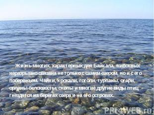 Жизнь многих, характерных для Байкала, животных неразрывно связана не только с с