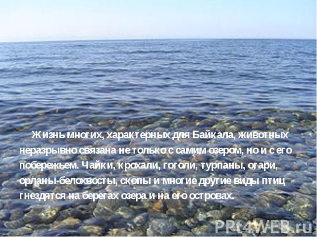 Жизнь многих, характерных для Байкала, животных неразрывно связана не только с самим озером, но и с его побережьем. Чайки, крохали, гоголи, турпаны, огари, орланы-белохвосты, скопы и многие другие виды птиц гнездятся на берегах озера и на его остров…
