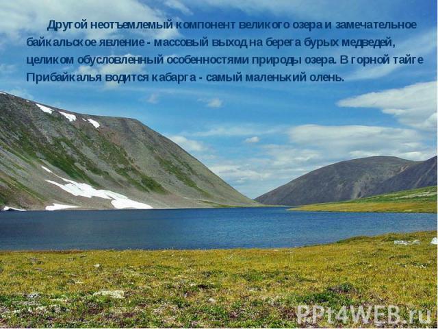 Другой неотъемлемый компонент великого озера и замечательное байкальское явление - массовый выход на берега бурых медведей, целиком обусловленный особенностями природы озера. В горной тайге Прибайкалья водится кабарга - самый маленький олень. Другой…