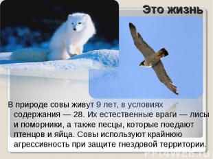 В природе совы живут 9 лет, в условиях содержания — 28. Их естественные враги —