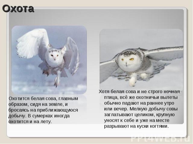 Охотится белая сова, главным образом, сидя на земле, и бросаясь на приближающуюся добычу. В сумерках иногда охотится и на лету. Хотя белая сова и не строго ночная птица, всё же охотничьи вылеты обычно падают на раннее утро или вечер. Мелкую добычу с…