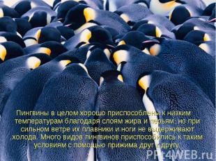 Пингвиныв целом хорошо приспособлены к низким температурам благодаря слоям