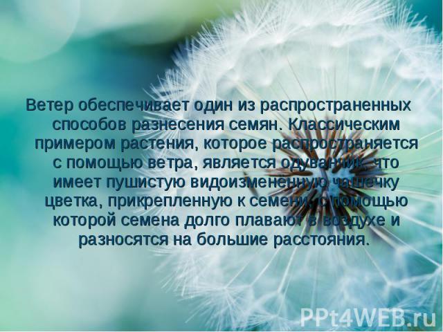 Ветер обеспечиваетодин из распространенных способов разнесения семян. Классическим примером растения, которое распространяется с помощью ветра, являетсяодуванчик, что имеет пушистуювидоизменённую чашечку цветка, прикрепленную к сем…