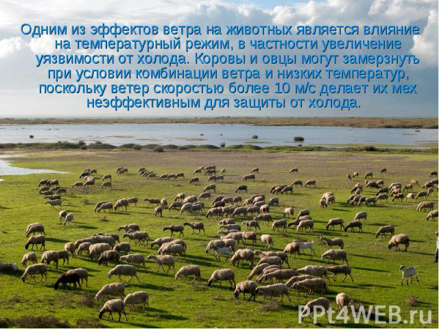 Одним из эффектов ветра на животных является влияние на температурный режим, в частности увеличение уязвимости от холода. Коровы и овцы могут замерзнуть при условии комбинации ветра и низких температур, поскольку ветер скоростью более 10 м/с делает …