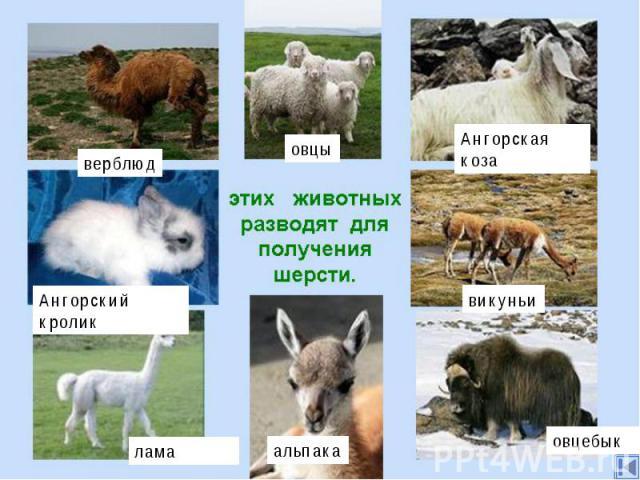 Шерсть.Есть и другие животные, которых разводят для получения шерсти - верблюды, ангорские кролики и козы, ламы, викуньи, альпака, овцебыки и даже собаки.