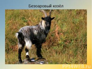 Безоаровый козёл