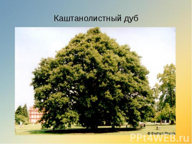 Каштанолистный дуб