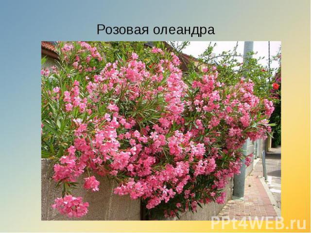 Розовая олеандра