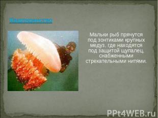 Мальки рыб прячутся под зонтиками крупных медуз, где находятся под защитой щупал