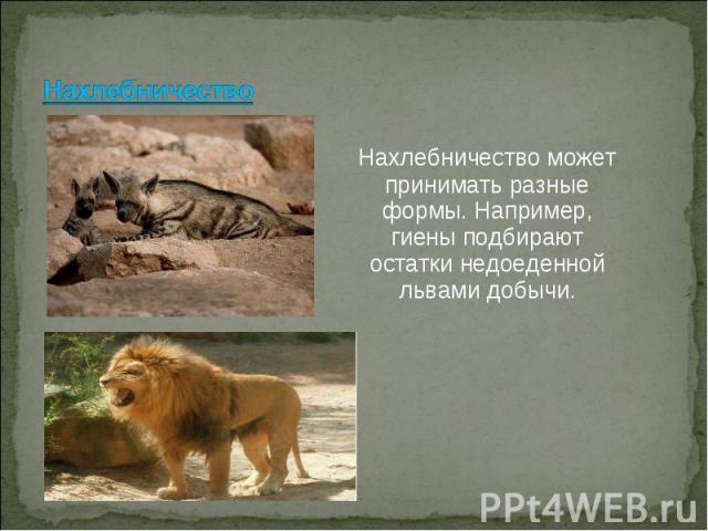 Нахлебничество может принимать разные формы. Например, гиены подбирают остатки недоеденной львами добычи.Нахлебничество может принимать разные формы. Например, гиены подбирают остатки недоеденной львами добычи.