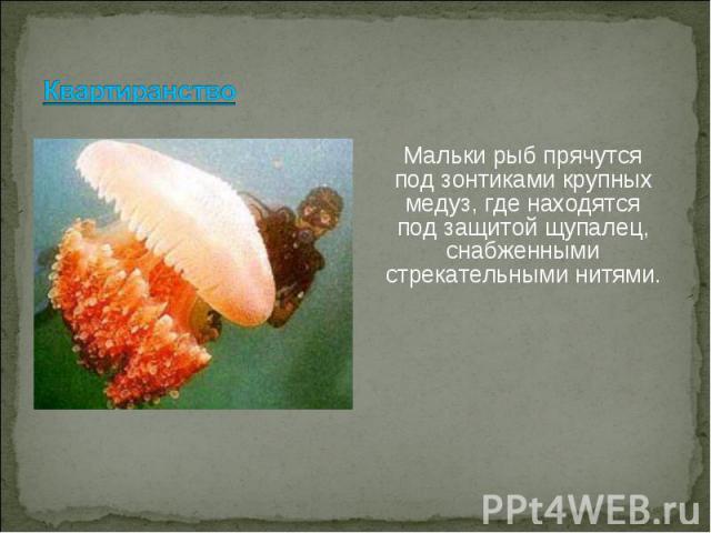 Мальки рыб прячутся под зонтиками крупных медуз, где находятся под защитой щупалец, снабженными стрекательными нитями. Мальки рыб прячутся под зонтиками крупных медуз, где находятся под защитой щупалец, снабженными стрекательными нитями.