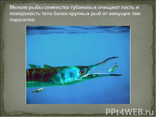 Мелкие рыбы семейства губановых очищают пасть и поверхность тела более крупных рыб от живущих там паразитов.