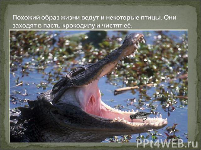 Похожий образ жизни ведут и некоторые птицы. Они заходят в пасть крокодилу и чистят её.