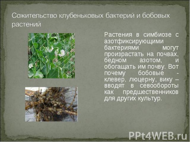 Растения в симбиозе с азотфиксирующими бактериями могут произрастать на почвах, бедном азотом, и обогащать им почву. Вот почему бобовые - клевер, люцерну, вику – вводят в севообороты как предшественников для других культур.Растения в симбиозе с азот…