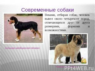 Большая швейцарская овчарка Современные собаки