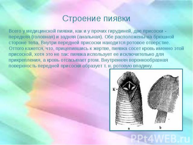 Строение пиявки Всего у медицинской пиявки, как и у прочих гирудиней, две присоски - передняя (головная) и задняя (анальная). Обе расположены на брюшной стороне тела. Внутри передней присоски находится ротовое отверстие. Оттого кажется, что, прицепи…