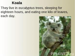 Koala They live in eucalyptus trees, sleeping for eighteen hours, and eating one