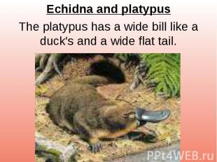 Echidna and platypus The platypus has a wide bill like a duck's and a wide flat