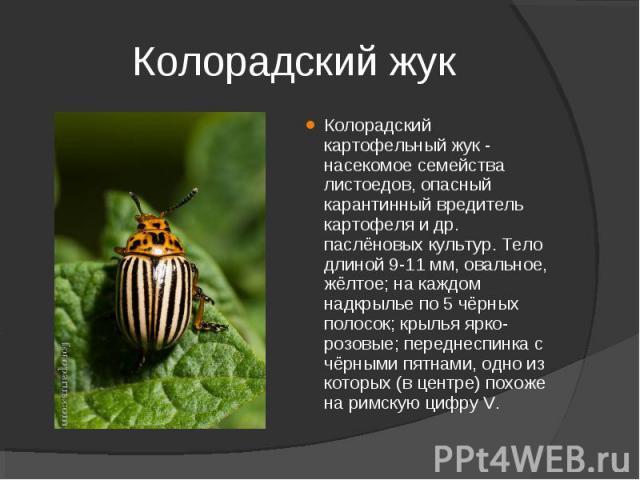 Колорадский картофельный жук - насекомое семейства листоедов, опасный карантинный вредитель картофеля и др. паслёновых культур. Тело длиной 9-11 мм, овальное, жёлтое; на каждом надкрылье по 5 чёрных полосок; крылья ярко-розовые; переднеспинка с чёрн…