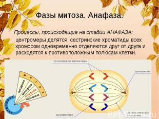 Фазы митоза. Анафаза. Процессы, происходящие на стадии АНАФАЗА: центромеры делят