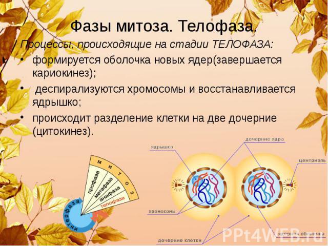 Фазы митоза. Телофаза. Процессы, происходящие на стадии ТЕЛОФАЗА: формируется оболочка новых ядер(завершается кариокинез); деспирализуются хромосомы и восстанавливается ядрышко; происходит разделение клетки на две дочерние (цитокинез).