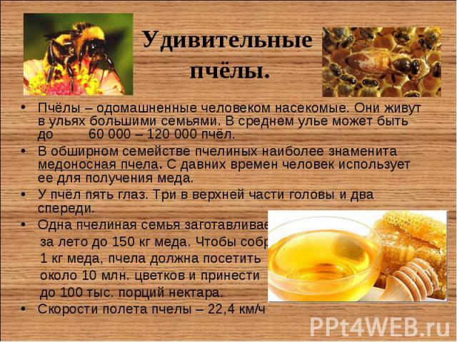 Пчёлы – одомашненные человеком насекомые. Они живут в ульях большими семьями. В среднем улье может быть до 60 000 – 120 000 пчёл. Пчёлы – одомашненные человеком насекомые. Они живут в ульях большими семьями. В среднем улье может быть до 60 000 – 120…