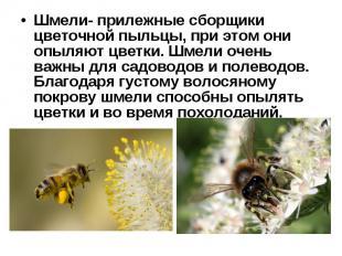 Шмели- прилежные сборщики цветочной пыльцы, при этом они опыляют цветки. Шмели о