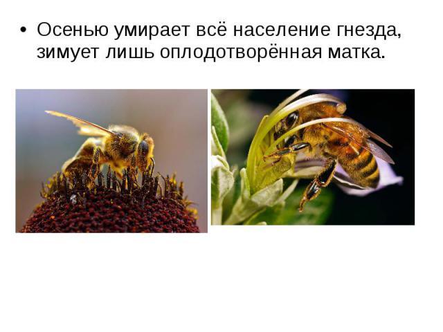Осенью умирает всё население гнезда, зимует лишь оплодотворённая матка. Осенью умирает всё население гнезда, зимует лишь оплодотворённая матка.