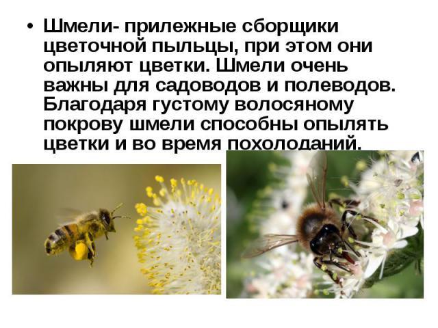 Шмели- прилежные сборщики цветочной пыльцы, при этом они опыляют цветки. Шмели очень важны для садоводов и полеводов. Благодаря густому волосяному покрову шмели способны опылять цветки и во время похолоданий. Шмели- прилежные сборщики цветочной пыль…