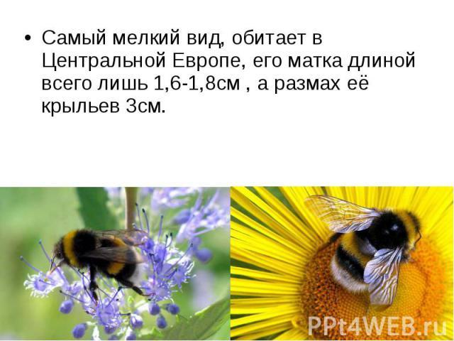 Самый мелкий вид, обитает в Центральной Европе, его матка длиной всего лишь 1,6-1,8см , а размах её крыльев 3см. Самый мелкий вид, обитает в Центральной Европе, его матка длиной всего лишь 1,6-1,8см , а размах её крыльев 3см.