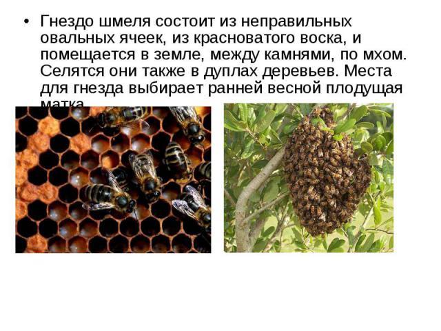 Гнездо шмеля состоит из неправильных овальных ячеек, из красноватого воска, и помещается в земле, между камнями, по мхом. Селятся они также в дуплах деревьев. Места для гнезда выбирает ранней весной плодущая матка. Гнездо шмеля состоит из неправильн…
