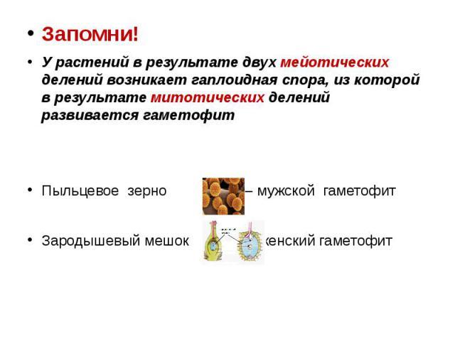 Запомни! Запомни! У растений в результате двух мейотических делений возникает гаплоидная спора, из которой в результате митотических делений развивается гаметофит Пыльцевое зерно – мужской гаметофит Зародышевый мешок – женский гаметофит