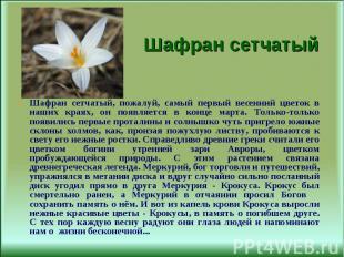 Шафран сетчатый, пожалуй, самый первый весенний цветок в наших краях, он появляе