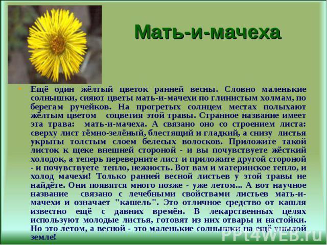Ещё один жёлтый цветок ранней весны. Словно маленькие солнышки, сияют цветы мать-и-мачехи по глинистым холмам, по берегам ручейков. На прогретых солнцем местах полыхают жёлтым цветом соцветия этой травы. Странное название имеет эта трава: мать-и-мач…