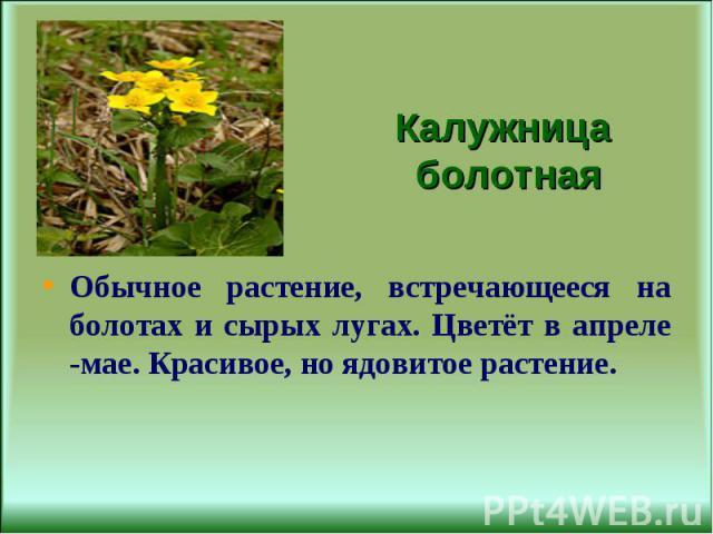 Обычное растение, встречающееся на болотах и сырых лугах. Цветёт в апреле -мае. Красивое, но ядовитое растение.