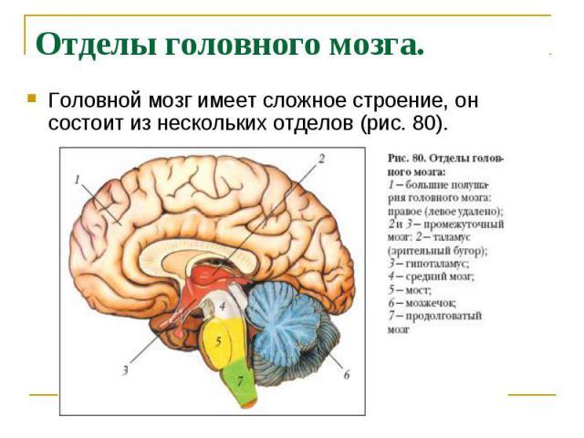 Отделы головного мозга. Головной мозг имеет сложное строение, он состоит из нескольких отделов (рис. 80).