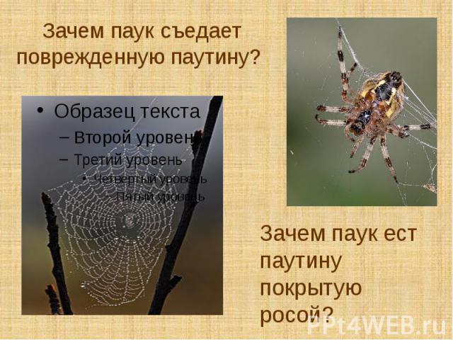 Зачем паук съедает поврежденную паутину?