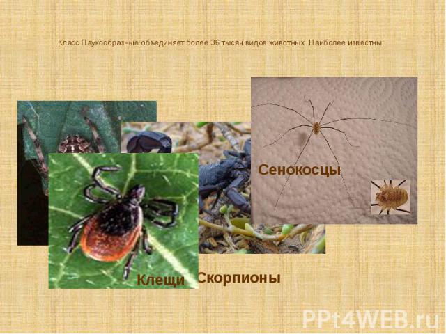 Класс Паукообразные объединяет более 36 тысяч видов животных. Наиболее известны: