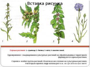 Сорные растения: 1- сушеница; 2- белена; 3- мята; 4- василек синий. Одновременно