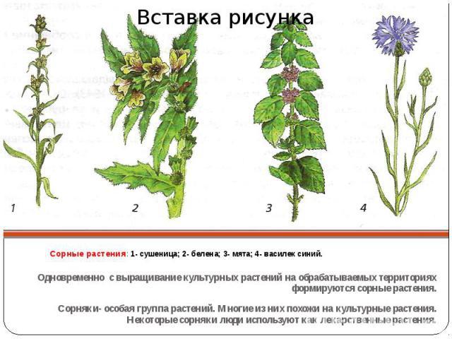 Сорные растения: 1- сушеница; 2- белена; 3- мята; 4- василек синий. Одновременно с выращивание культурных растений на обрабатываемых территориях формируются сорные растения. Сорняки- особая группа растений. Многие из них похожи на культурные растени…
