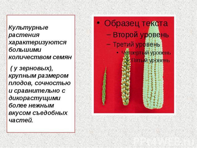 Культурные растения характеризуются большими количеством семян Культурные растения характеризуются большими количеством семян ( у зерновых), крупным размером плодов, сочностью и сравнительно с дикорастущими более нежным вкусом съедобных частей.