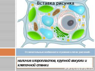Отличительные особенности строения клеток растений- наличие хлоропластов, крупно