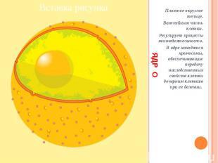 ЯДР О Плотное округлое тельце. Важнейшая часть клетки. Регулирует процессы жизне