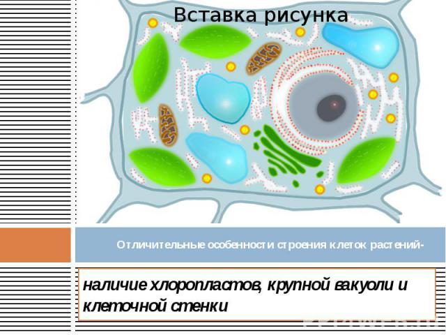 Отличительные особенности строения клеток растений- наличие хлоропластов, крупной вакуоли и клеточной стенки