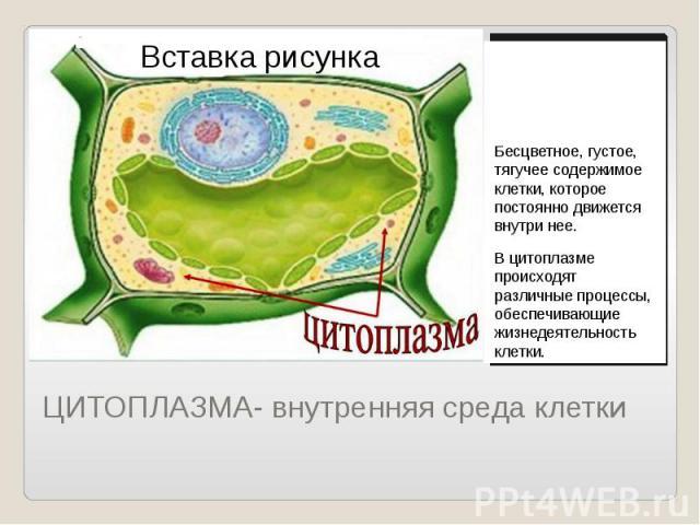 ЦИТОПЛАЗМА- внутренняя среда клетки Бесцветное, густое, тягучее содержимое клетки, которое постоянно движется внутри нее. В цитоплазме происходят различные процессы, обеспечивающие жизнедеятельность клетки.